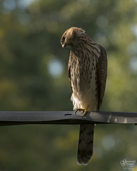 Young Cooper's hawk eyeballing potential prey.