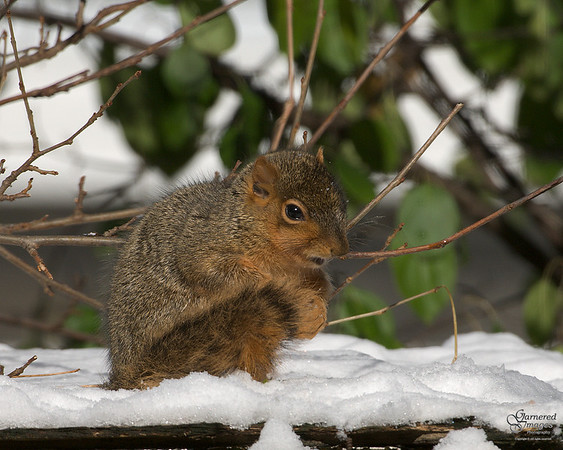 Cold Little Fox Squirrel