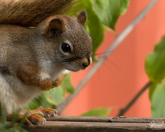 Chastized young pine squirrel